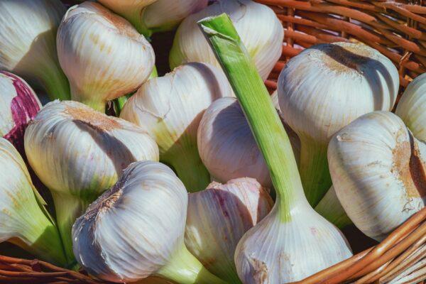 fresh harvest garlic EVOO