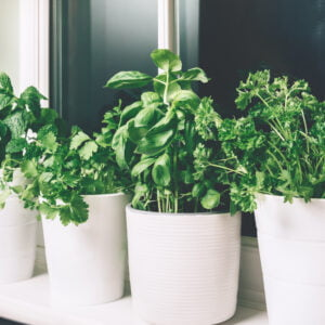 Basil. mint, parsley, coriander photo by Manuta on Envato Elements